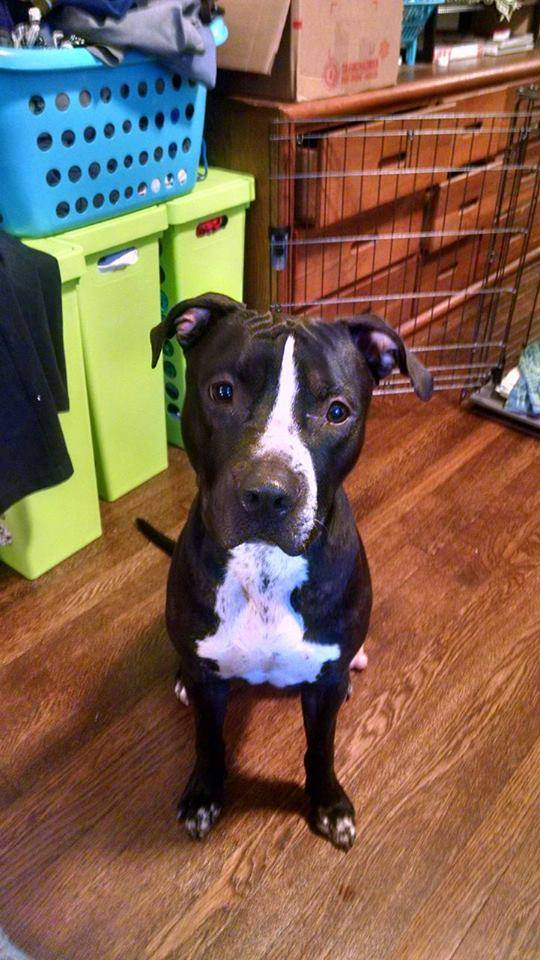 Black and white American Staffordshire Terrier, about 1 year old