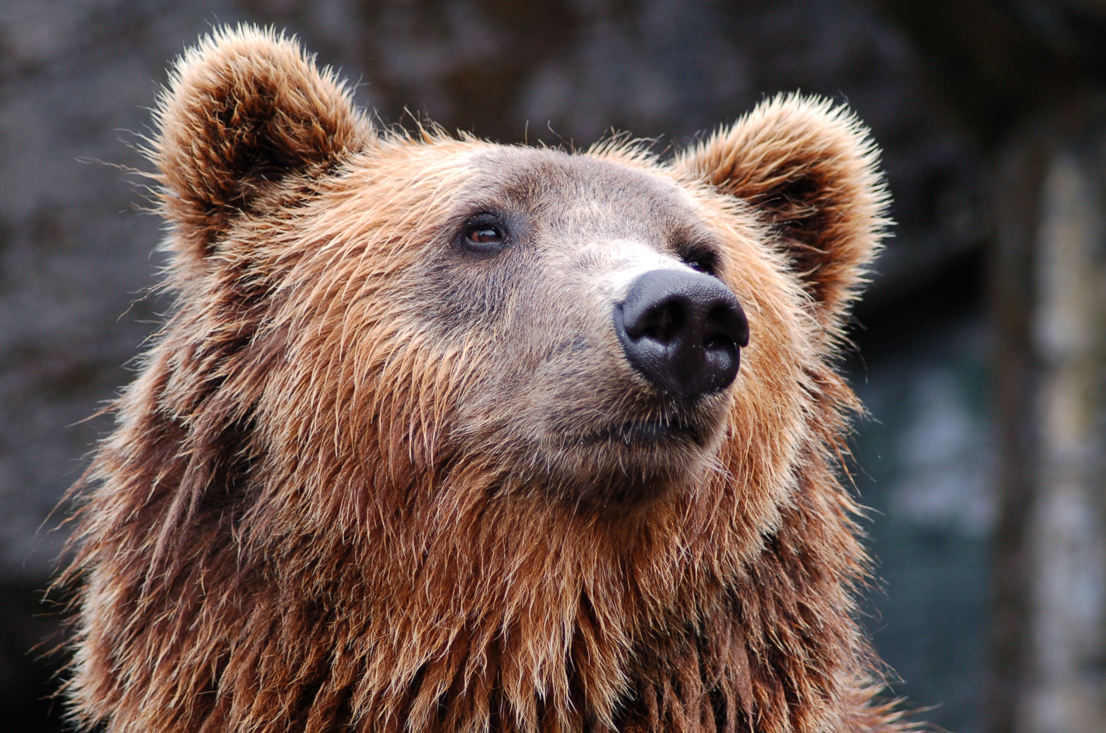 A brown bear looking majestically into the distance.