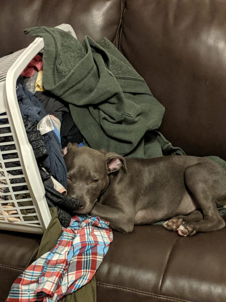 My pit bull puppy laying on the couch beside an overturned and spilling basket of laundry. She's half in the spilling laundry.