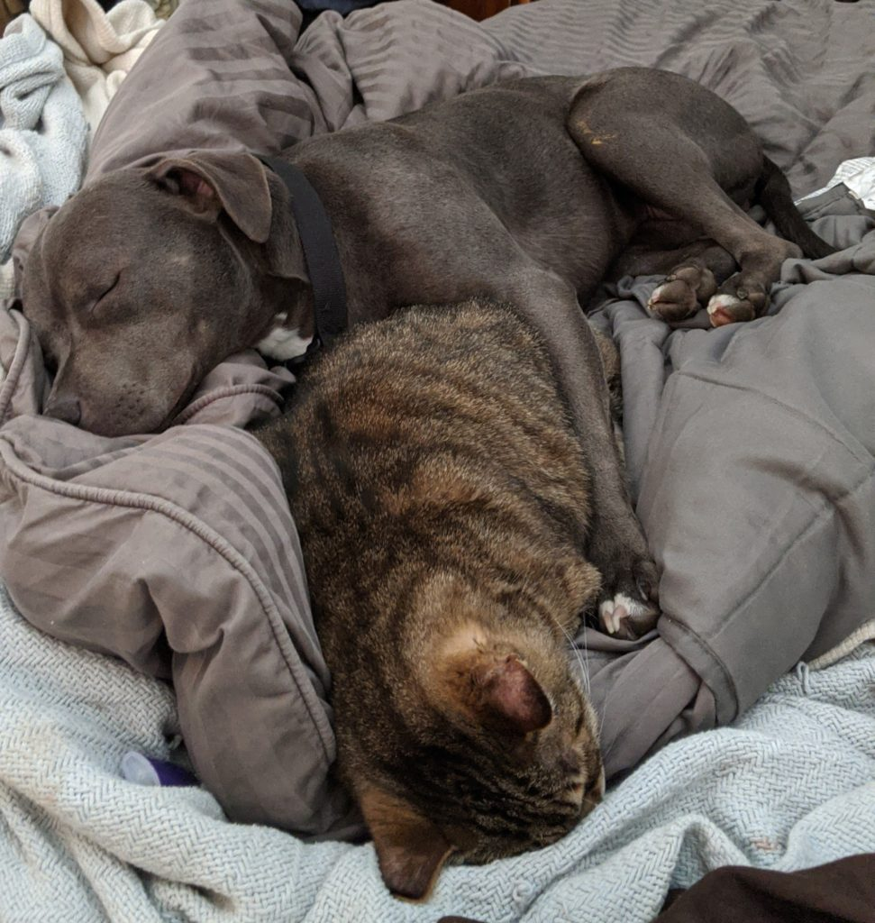 A gray pit bull about the same size as the striped house cat it's sleeping beside. The dog has one leg thrown over the sleeping cat.